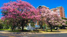 Lugares de Guatemala para observar los árboles de matilisguate más bellos