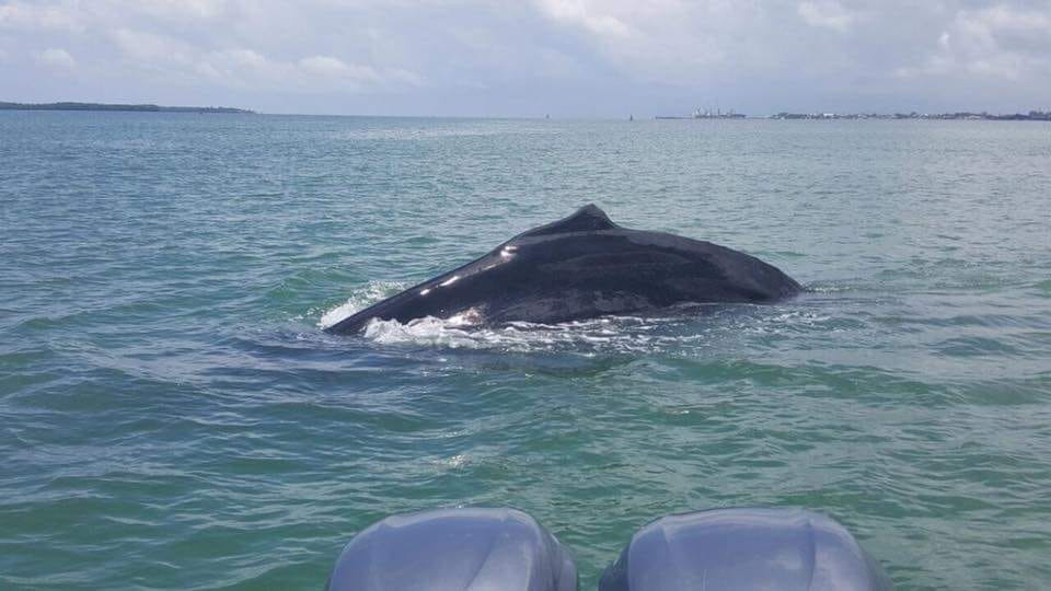Bahía de Amatique delfines