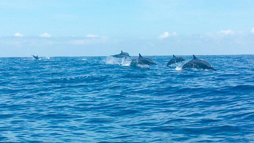 Fotos del avistamiento de Delfines Tornillo en el Caribe de Guatemala