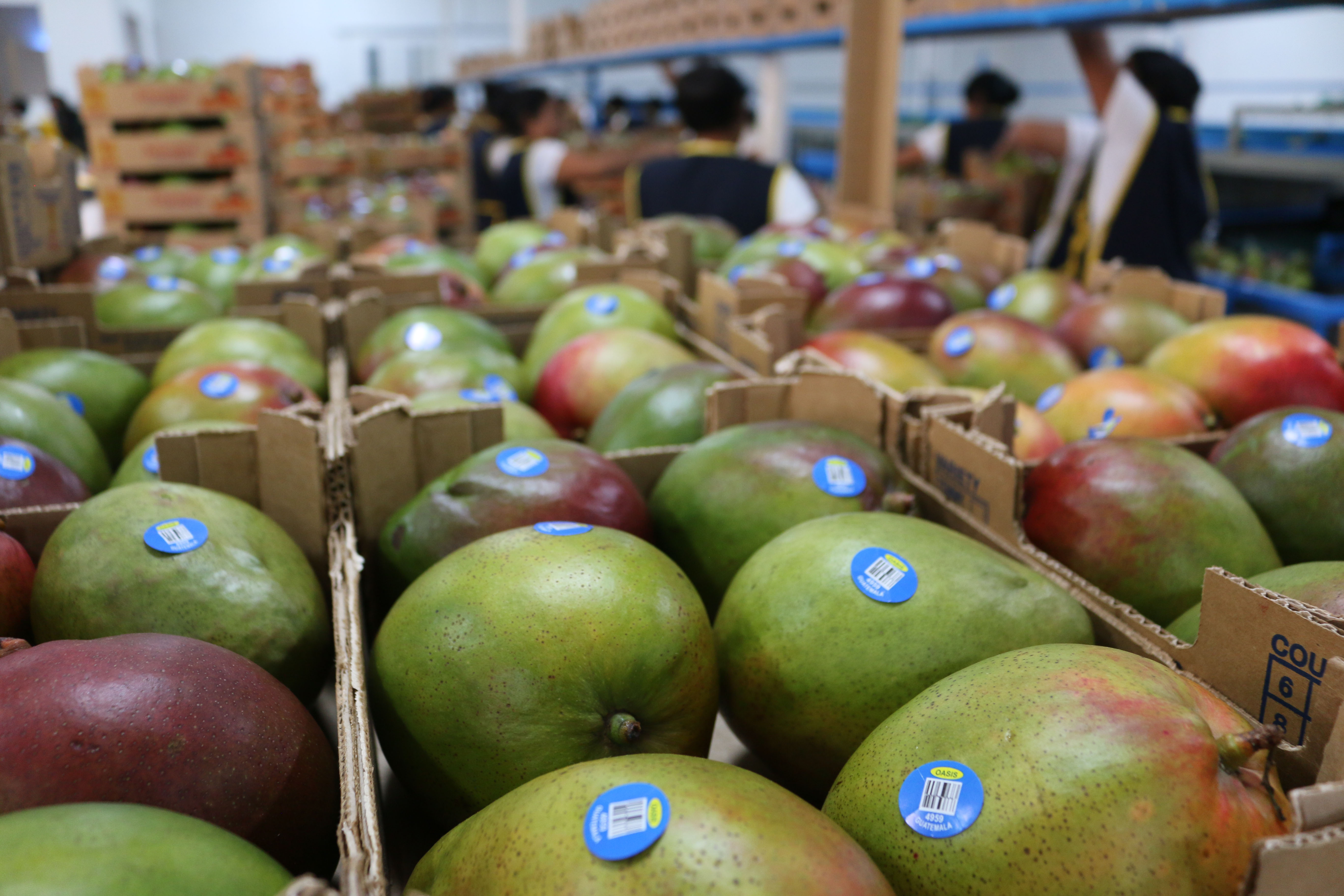 Mango guatemalteco a Chile