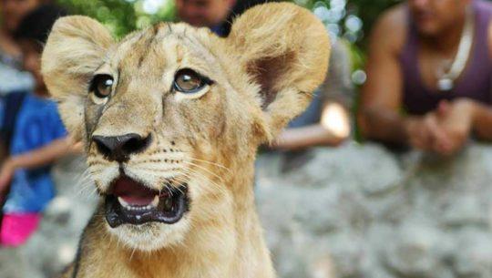 Visita a Auto Safari Chapín para conocer a cachorros de leones | Abril 2019