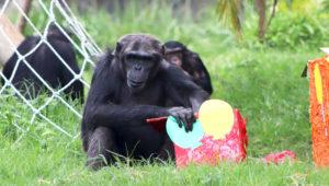 Cumpleaños de chimpancés y pingüinos en el Zoológico La Aurora | Junio 2019