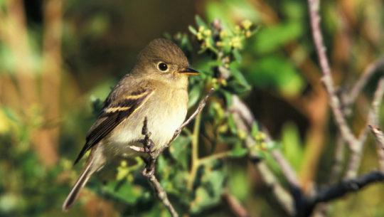16 especies de aves migratorias que puedes ver en Guatemala