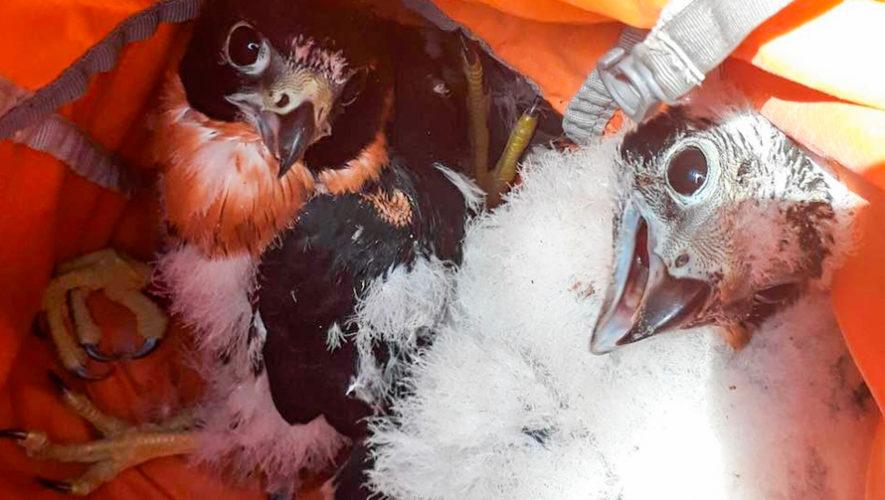 Polluelos de Halcón Pecho Naranja nacieron en Parque Nacional Tikal, Petén