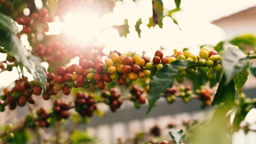 Reactivación económica del café Guatemala
