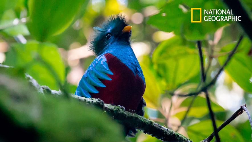 Foto del Quetzal captada por guatemalteca fue destacada en National Geographic