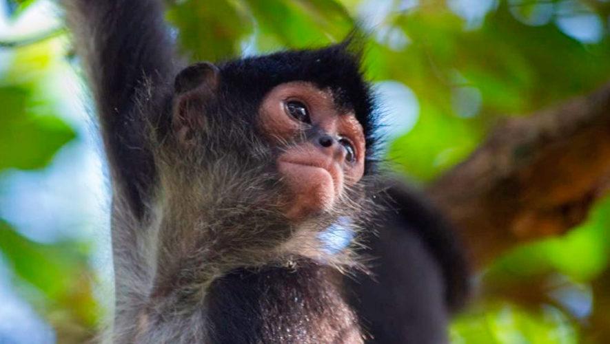 mono araña guatemala