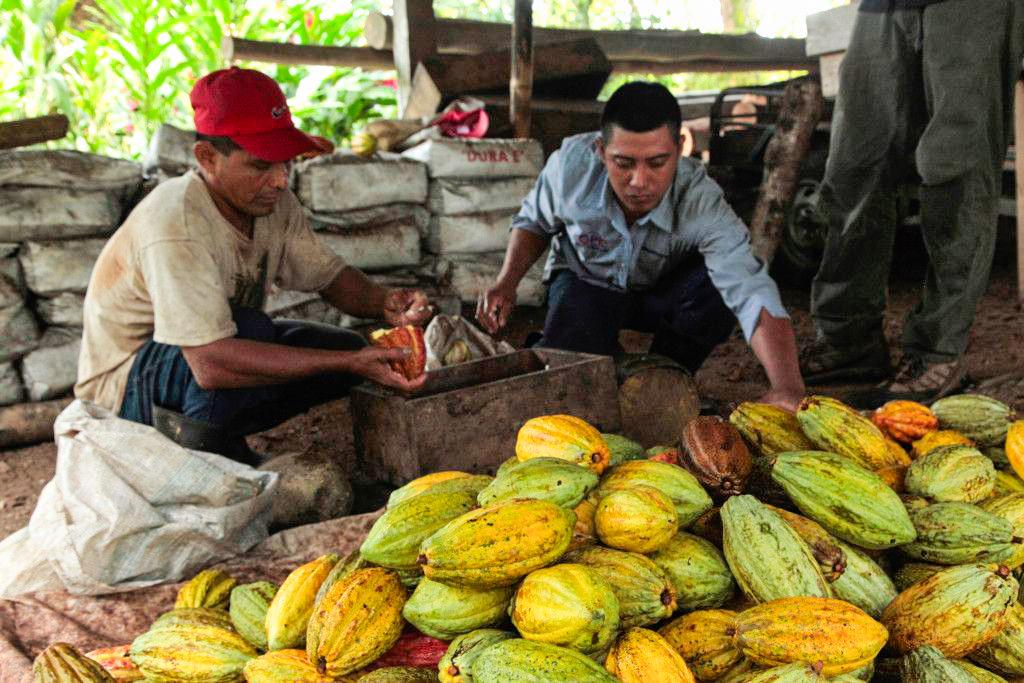 Cacao guatemalteco