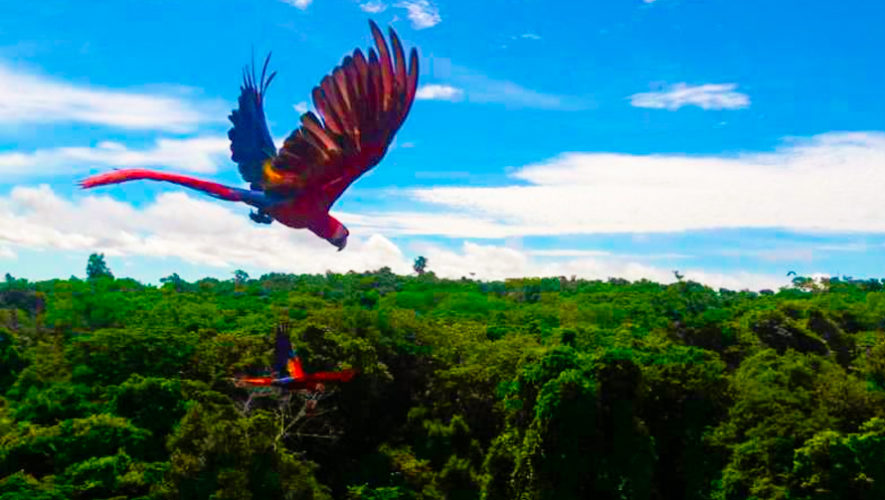 Guacamayas rojas fueron liberadas en el Parque Nacional Sierra Lacandón, Petén