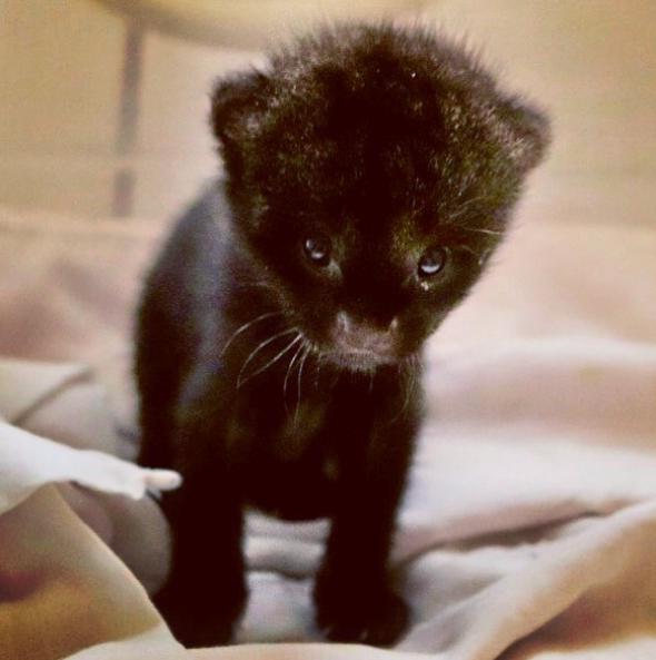 Cómo visitar al jaguarundi en el zoológico