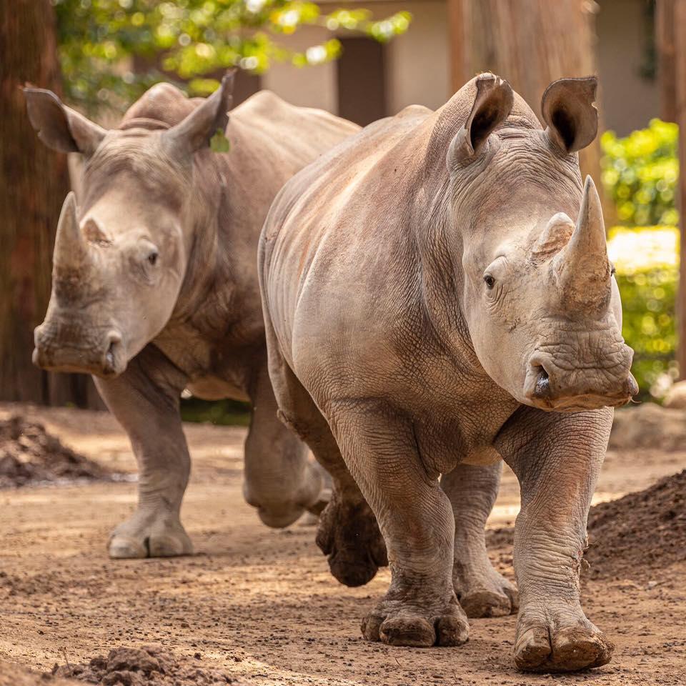 Buscan nombre para la rinoceronte hembra del Zoológico La Aurora