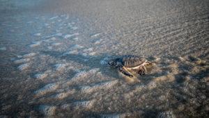 Liberación de tortugas en la playa | Septiembre 2019