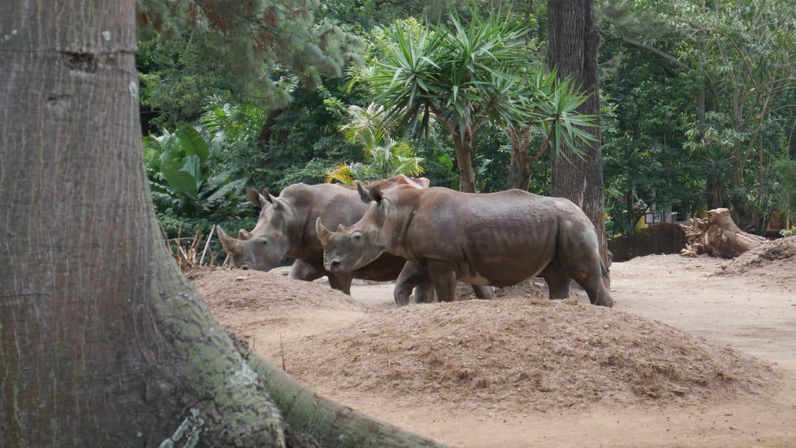 Los guatemaltecos podrán visitar a la pareja de rinoceronteGs