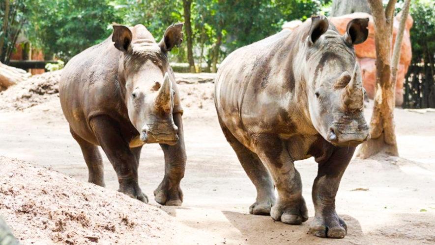 Rinocerontes blancos, son los nuevos huéspedes del Zoológico La Aurora