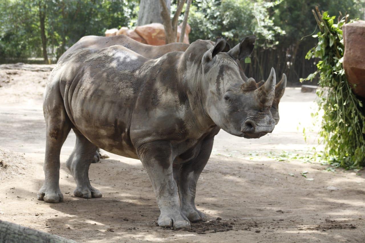 Rinocerontes en Guatemala