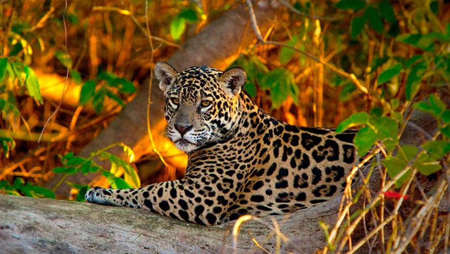 Festival en apoyo a la conservación del jaguar en Guatemala | Noviembre 2019