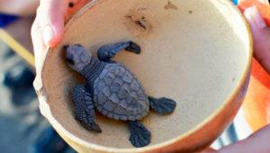 Liberación de tortugas en playas de Monterrico | Octubre 2019