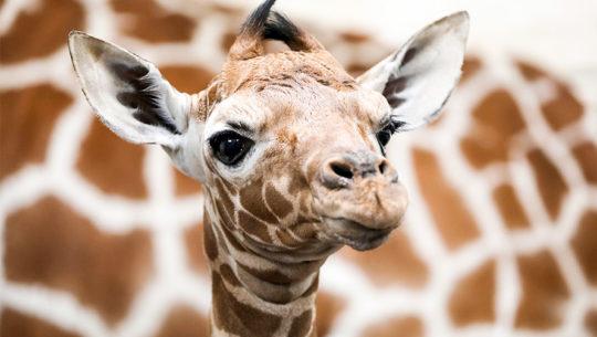 Buscan nombre para jirafa bebé del Zoológico La Aurora en noviembre 2019