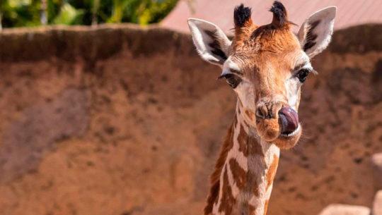 Datos curiosos del nuevo bebé jirafa del Zoológico La Aurora