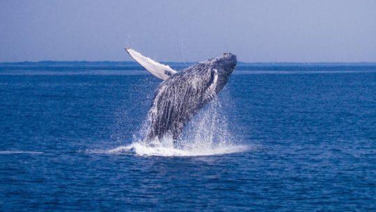 Por qué ballenas, orcas, delfines y mantarrayas llegan a Guatemala