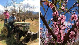 Tours de floración de melocotón en Salcajá | Febrero 2020