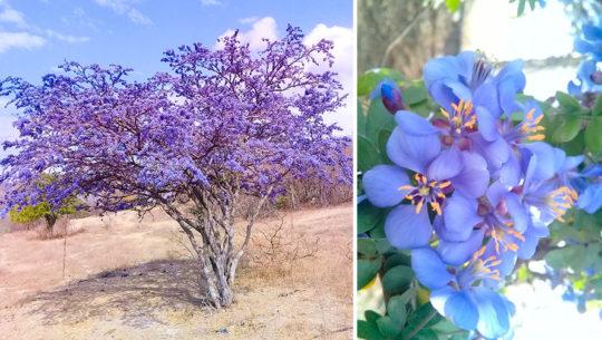 El árbol de Guayacán llena de color el oriente de Guatemala