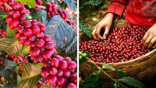Guatemala tiene uno de los cafés más caros del mundo