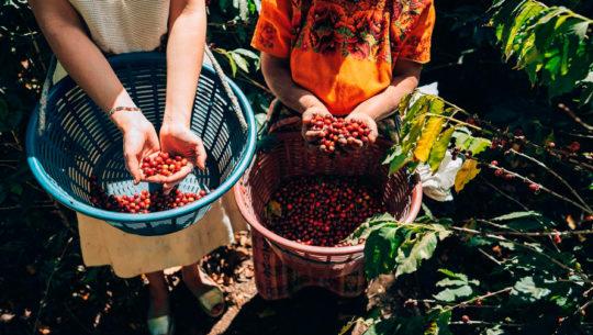 La Cosecha 2020 se celebra por primera vez en Guatemala