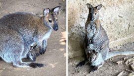 Tres walabis bebés son los nuevos integrantes del Zoológico la Aurora