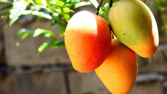 Variedades de mango que se cultivan en Guatemala