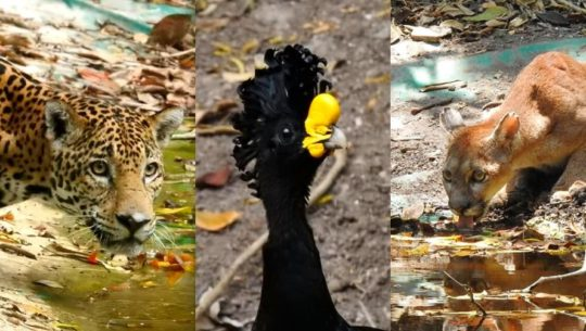 Especies reaparecen en varios lugares turísticos de Guatemala durante la cuarentena