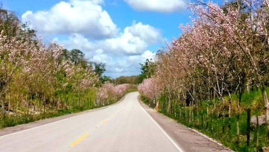 Madre Cacao, el árbol rosa que adorna las carreteras de Guatemala (1)