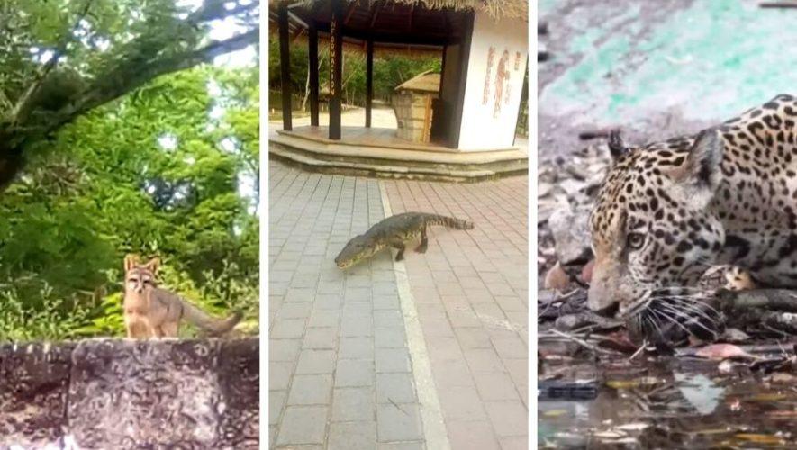 Animales salvajes que se han visto en el Parque Nacional Tikal durante la cuarentena