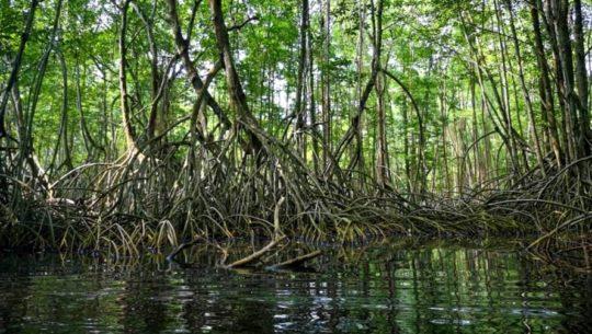 El bosque de manglares que le da vida a las costas de Guatemala