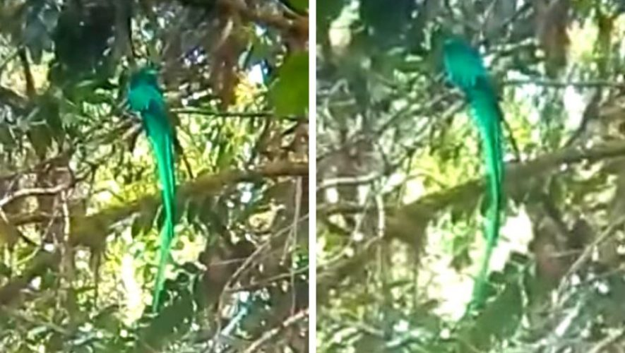 Quetzal fue captado en video en Las Verapaces, Guatemala