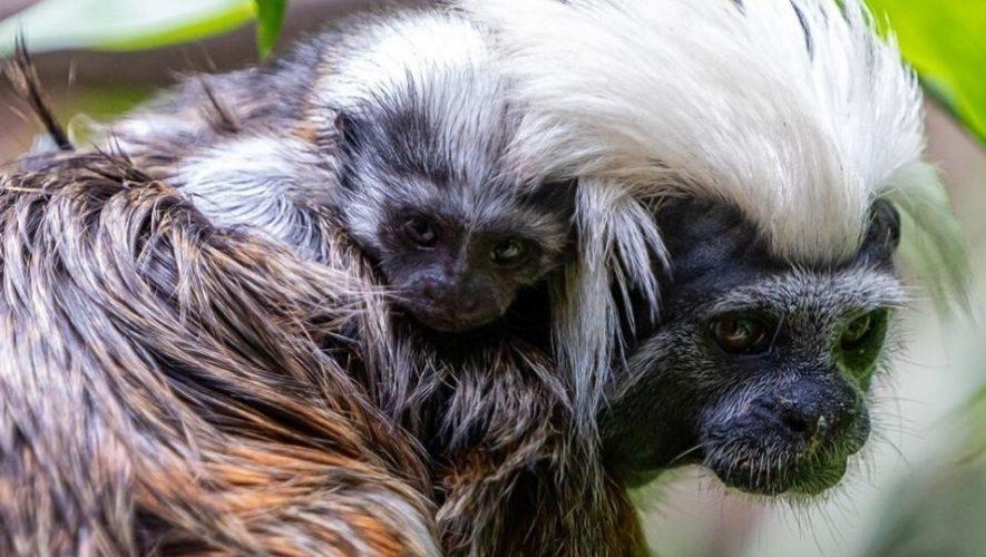 Dos monos tití cabeza de algodón son los nuevos integrantes del Zoológico la Aurora
