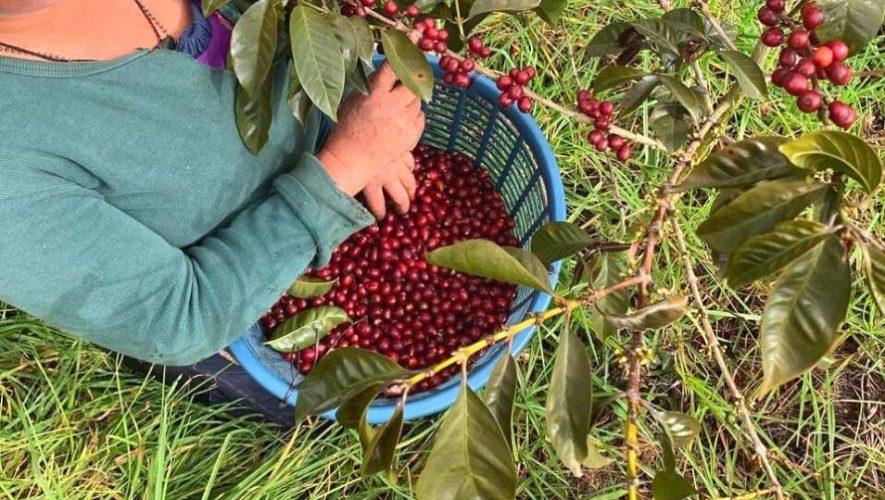 El mejor café de Guatemala es de Palencia, según Cup of Excellence 2020