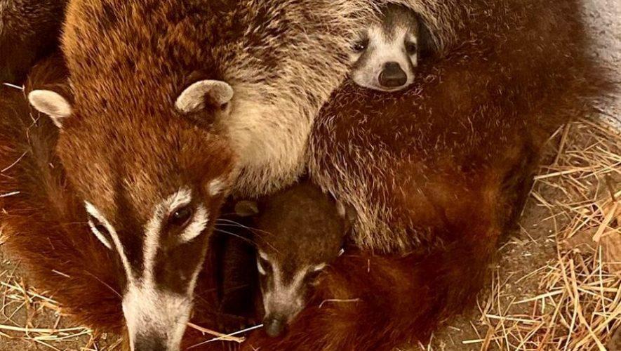 Tres pizotes son los nuevos integrantes del Parque Zoológico la Aurora