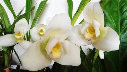 guatemala-mina-orquideas-hogar-monja-blanca-simbolo-patrio-guatemalteco-flor-nacional