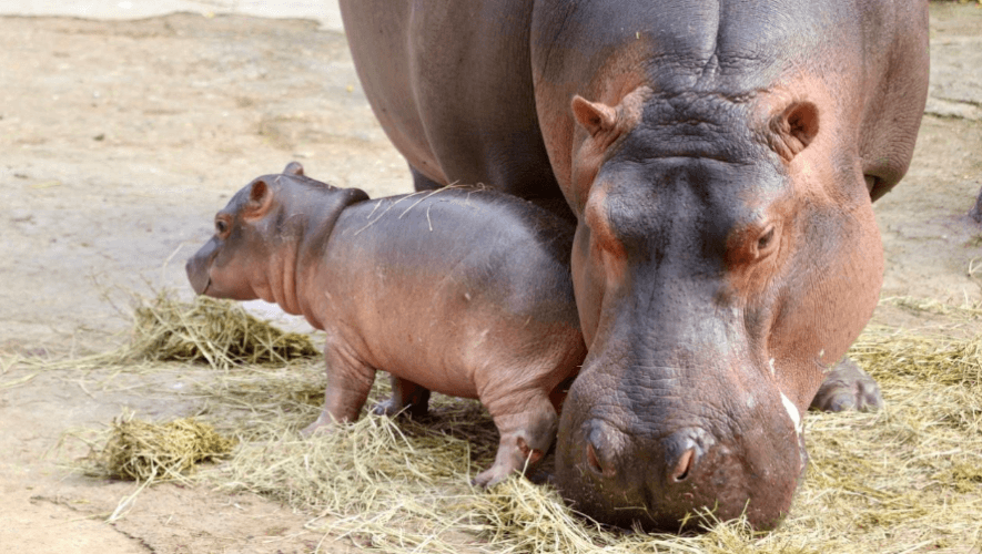 Bebé hipopótamo es el nuevo integrante del Parque Zoológico La Aurora