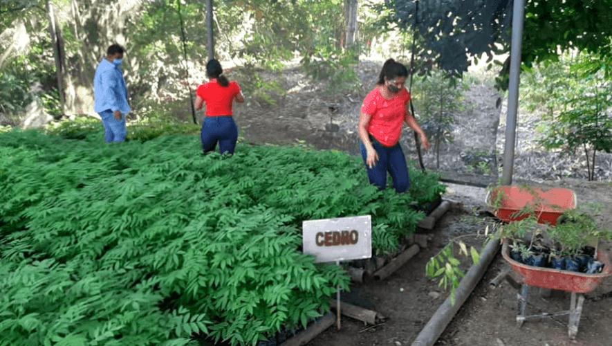 Guatemaltecos sembraron más de 6 mil árboles en bosques de Izabal en agosto de 2020