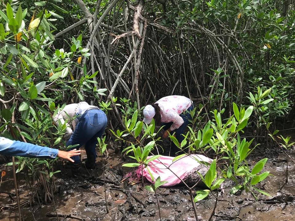 Sembraron 3,500 plantas de mangle rojo en el Parque Nacional Sipacate Naranjo 2020