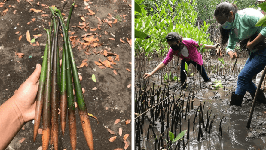 Sembraron 3,500 plantas de mangle rojo en el Parque Nacional Sipacate Naranjo en agosto 2020