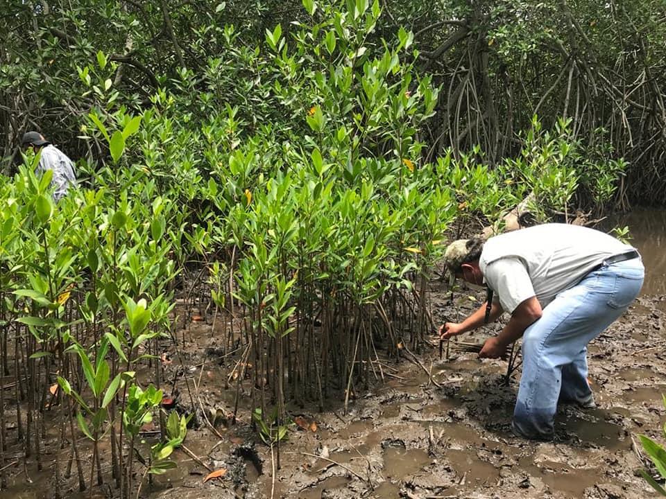 Sembraron 3,500 plantas de mangle rojo en el Parque Nacional Sipacate Naranjo