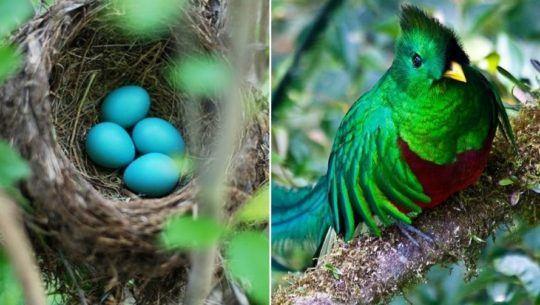 Así nace el quetzal, el ave nacional de Guatemala 1