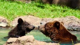 Koda, el nuevo nombre del osezno que vive en el Zoológico La Aurora