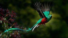 La impresionante variedad de tonalidades que tienen las plumas del Quetzal