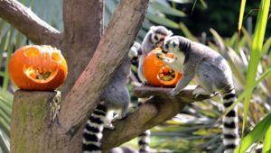 Celebración de Halloween en el Zoológico La Aurora | Octubre 2020