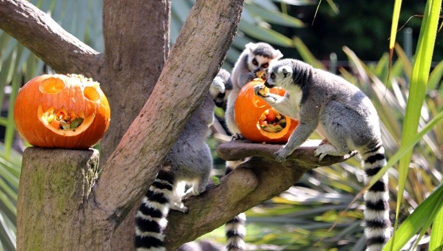 Celebración de Halloween en el Zoológico La Aurora Octubre 2020