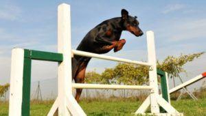 Competencia de perros de guardia, rastreo y obediencia | Octubre 2020